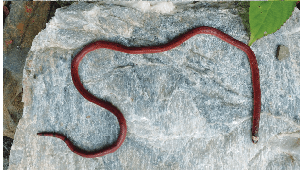 Researchers discovered Black-bellied Coral snake in forests of Uttarakhand  ഉത്തരാഖണ്ഡിലെ വനങ്ങളിൽ കറുത്ത വയറുള്ള പവിഴ പാമ്പിനെ ഗവേഷകർ കണ്ടെത്തി_40.1