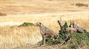 Cheetah to be re-introduced in India from Africa in November | नोव्हेंबरमध्ये आफ्रिकेतून चित्ता भारतात पुन्हा दाखल होणार आहे_40.1