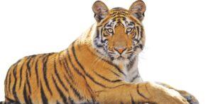 National Animal of India | भारताचा राष्ट्रीय प्राणी_50.1