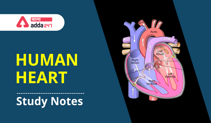 """Study notes on """"Human Heart"""" For WBCS Exam_40.1"""