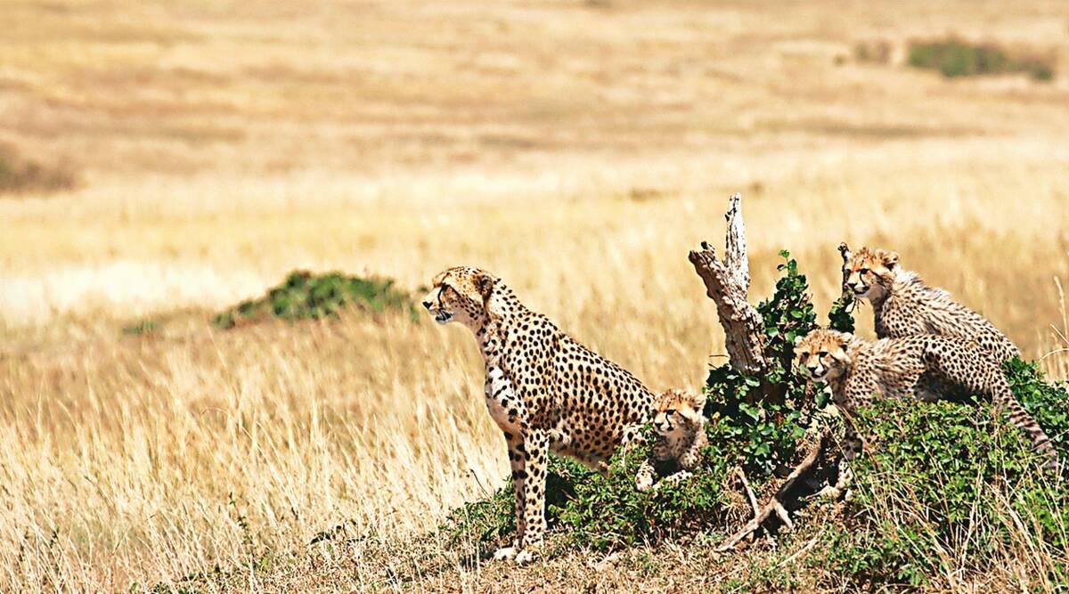 Cheetah to be re-introduced in India from Africa in November | சிறுத்தைப்புலி நவம்பரில் ஆப்பிரிக்காவிலிருந்து இந்தியாவில் மீண்டும் அறிமுகப்படுத்தப்பட உள்ளது |_40.1