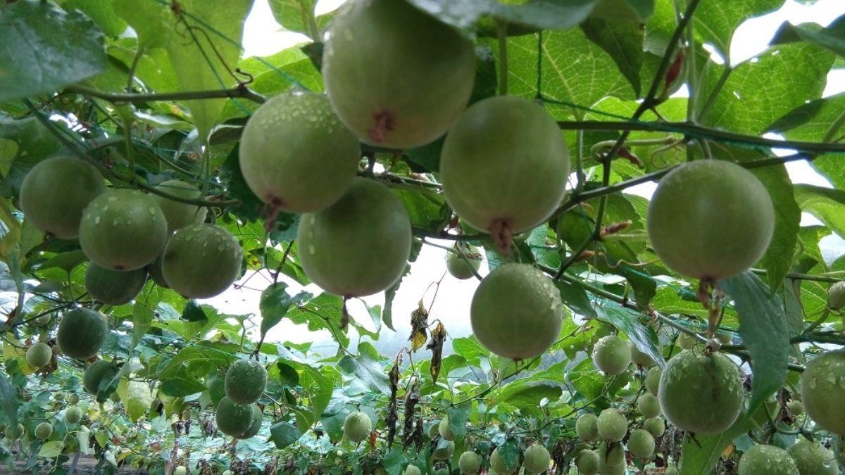 India's first monk fruit cultivation exercise begins in HP's Kullu | இந்தியாவின் முதல் மொன்க் பழ சாகுபடி பயிற்சி HP குல்லுவில் அறிமுகப்படுத்தப்பட்டது |_40.1