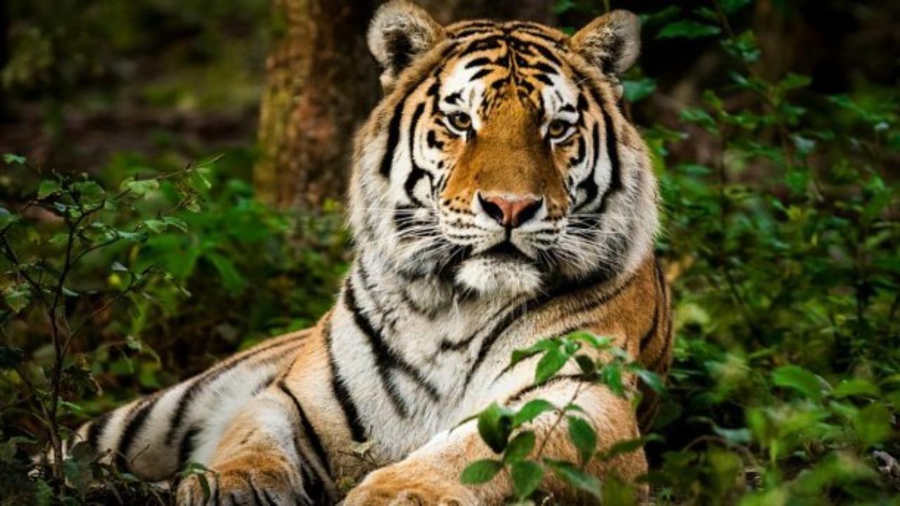 35% of India's tiger ranges are outside protected areas | இந்தியாவின் புலி எல்லைகளில் 35% பாதுகாக்கப்பட்ட பகுதிகளுக்கு வெளியே உள்ளன |_40.1