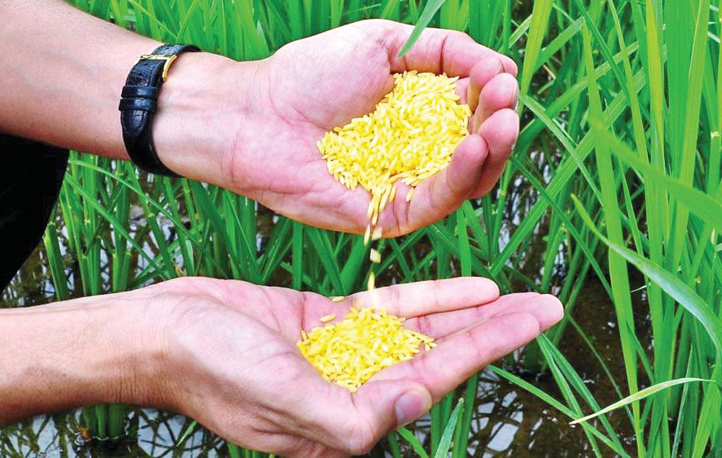 Philippines becomes first country to approve Golden Rice for planting | நடவு செய்வதற்கு கோல்டன் ரைஸுக்கு முதல் நாடாக பிலிப்பைன்ஸ் ஒப்புதல் அளித்தது |_40.1