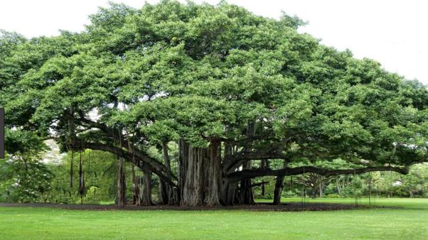 இந்தியாவின் தேசிய மரம் | National Tree of India for TNPSC |_50.1
