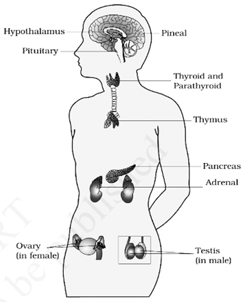 Hormones in Human- Download Science Study Notes Free PDF For REET/UTET Exam_50.1