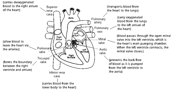 Circulatory System- Science Notes for CTET 2020: FREE PDF_50.1